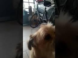 lhasa apso puppy shedding lhasa apso brushing brush shed shedding hair