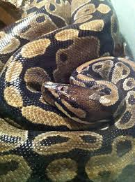 Ball Python Shedding Signs by What Is Wrong With My Ball Pythons Head Snakes