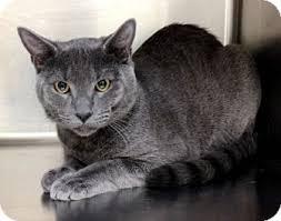 russian cat names dublin ca russian blue meet a cat for adoption