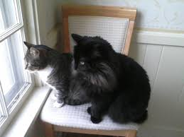 Do Maine Coons Shed Their Mane by What Is The Difference Between A Tiffany Cat And A Black Maine Coon