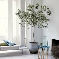 weißes wohnzimmer mit olivenbaum wohnzimmer dekoration