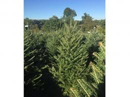Best Smelling Christmas Tree Types by 13 Best Real Christmas Trees The Independent