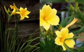 plant of the week stella d oro daylilies mcdonald garden center