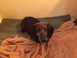 Shed Free Lap Dogs by The Dog Log Kentucky Dachshund Rescue Racing To The Rescue
