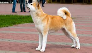 Do Akitas Shed Hair by Top 7 Dog Breeds That Shed The Most Dog Notebook