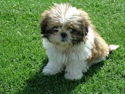 Shih Tzu Lhasa Apso Shedding by Shih Tzu My Doggy Rocks