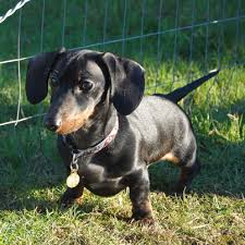 Dog Breeds That Dont Shed List by Hypoallergenic Dogs Breeds That Don U0027t Shed