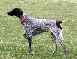 German Shorthaired Pointer Shed Hunter by German Shorthaired Pointer