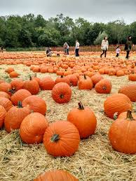 Pumpkin Picking Farm Long Island Ny by Best Pumpkin Picking On Long Island Long Island Weekly