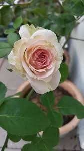 white rose with a dash of pink