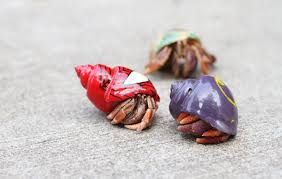 Do Hermit Crabs Shed Their Whole Body by The Truth About Owning Hermit Crabs