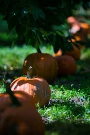 Sunnyside Pumpkin Patch by Pumpkins Spice Up Fall Menus And They Have For 30 000 Years