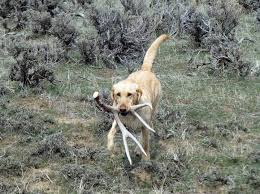 the best shed hunting dog breeds whitetail properties