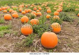 Kent Farms Pumpkin Patch by Pumpkin Patch Uk Stock Photos U0026 Pumpkin Patch Uk Stock Images Alamy