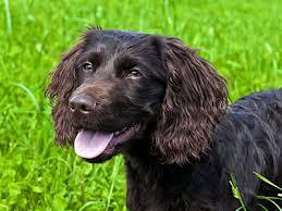 Chesapeake Bay Retriever Molting by Brown Dog Breeds List