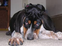 Do Bluetick Coonhounds Shed by Extreme Dog Breeds Bluetick Coonhound