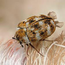 Do Carpet Beetle Bite by Best Solutions To Get Rid Of Carpet Beetles