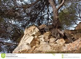 l arbre s accroche à la vie sur la roche photo stock image 67542302
