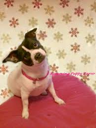 Stop Rat Terrier Shedding by How Long Does Dog Parvo Last In Your Home Or Yard What The
