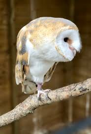 Barn Owl Flying Experiences – South West Animal Services Barn Owl Tyto Alba 4 Months Old Flying Stock Photo Image Beauty Of Bird Our Barn Owl The Tea Rooms Chat Rspb Community A Flying At Folly Farm In Pembrokeshire West Wales Winter Spirit By Hontor On Deviantart Audubon Field Guide Vector 380339767 Shutterstock Wallpaper 12x800 Hunting A Royalty Free Tattoos Tattoo Ideas Proyectos Que Debo Ientar