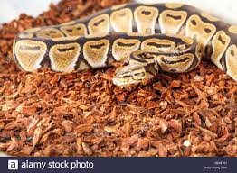 royal python bedding close up picture in terrarium stock photo