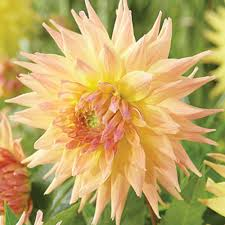 penhill autumn shades the golden hues of this dahlia light up