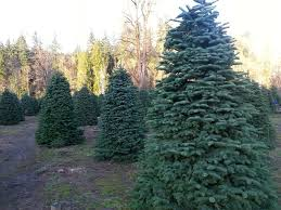 Fresh Ideas Christmas Trees On Sale Near Me Tree Farms With For