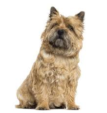 cairn terrier shed hair grooming a cairn terrier