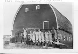 Fall Hog Butchering | Whitmancountyhistoricalsociety Ohio Ffaer Garrit Sproull Wins Tional Swine Production Award Hog Barn Farm Life In Black White Monoslope Corrosion Repair Greener World Solutions Insulation Fire Kills 400 Hogs Destroys The Globe Merrill Hinton And Le Mars Depts Battle Hog Barn Hogbarnoperation Diamond Concrete Ltd Old Alisha Carstsen Wterspring Farrowing 2014 Curiousfarmer Foes Of Missouri Proposal Win Court Ruling Sows News Filehog Confinement Interiorjpg Wikimedia Commons Double L Poultry Swine Venlation Flooring Products Show Cattle Barns To Stop By See The New Guyer Pig