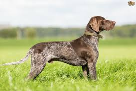German Wirehaired Pointer Shedding by German Shorthaired Pointer Dog Breed Information Buying Advice