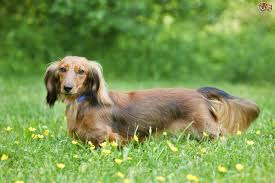 Small Dogs That Dont Shed Hair by Miniature Dachshund Dog Breed Information Buying Advice Photos
