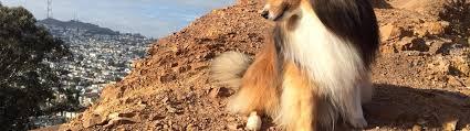 shetland sheepdog dog breed fun facts and faq s 2017 edition