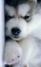 do huskies or malamutes shed more siberian huskies thick coat which needs proper