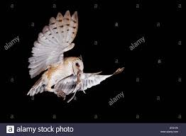 Barn Owl Tyto Alba Adult In Flight With Kangaroo Rat Prey Willacy ... Farmer Saves Rat From Death In Her Own Barn Redwood Coast Aazk Rat Poison Alternatives Mouse Poop Droppings Victor The Chicken Chick 15 Tips To Control Rodents Around Coops Black Rattus Rattus Foraging Of Farm Stock Photo Barn Owl About Enter Its Nest Carrying A Dead For Young Nose Work Hunt 44094 Kangaroo Rats San Diego Zoo Institute Cservation Research Mice And New York The Barn Rat Blog Remains Found Within The Wall During