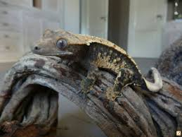 Halloween Pinstripe Crested Gecko by Definition Halloween