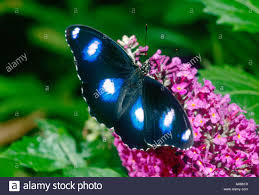 100 Butterfly House Melbourne Common Eggfly Butterfly Male On Verbena In