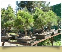 pot bonsai grande taille pépinière bonsai de jacques galinou production et vente de bonsai
