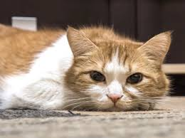 fatty liver cats fatty liver disease in cats hepatic lipidosis cathealth
