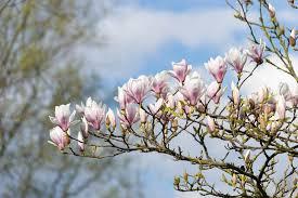 Free photo Natural Garden Tree Flower Park Pink Magnolia Max Pixel