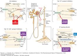 High Ceiling Loop Diuretics Adverse Effects by Regulation Of Renal Function And Vascular Volume Goodman