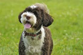 Portuguese Water Dog Non Shedding by Best Non Shedding Dog Breeds For Allergies U0026 Asthma Cuteness