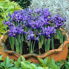 iris reticulata bulbs harmony suttons seeds and plants