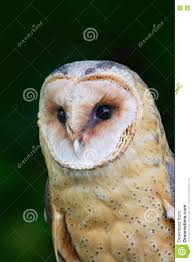 Portrait Of Owl. Barn Owl, Tito Alba, Nice Blurred Light Green The ... This Galapagos Barn Owl Lives With Its Mate On A Shelf In The Baby Barn Owl Owls Pinterest Bird And Animal Magic Tito Alba Sitting On Stone Fence In Forest Barnowl Real Owls Echte Uilen Wikipedia Secret Kingdom Young Tyto Roost Stock Photo 206862550 Shutterstock 415 Best Birds Mostly Uk Images Feather Nature By Annette Mckinnnon 63 2 30 Bird Great Grey