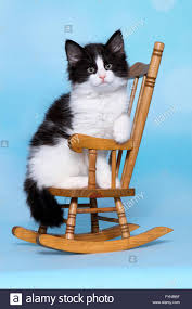Norwegian Forest Cat. Kitten Sitting On A Small Rocking ...