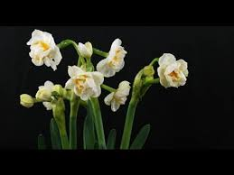 narcissus bridal crown narzisse daffodil