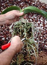 faq culture orchidées orchidées vacherot lecoufle foire aux