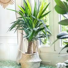 die yucca palme pflegetipps für deine