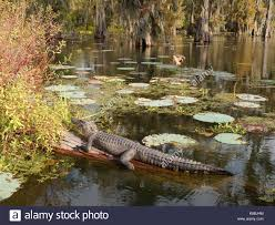 alligator bayou lake update louisiana an alligator in lake martin louisiana stock photo royalty free