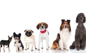 Quiet Small Non Shedding Dog Breeds by What Dog Breeds Are Right For Apartment Living Richmond Hill