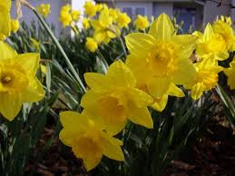 5 bulbs to plant now for a fabulous garden care2 healthy